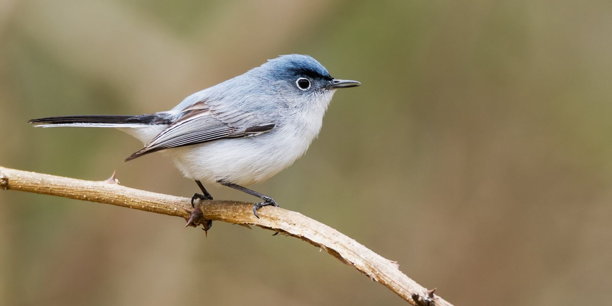A small, gray bird with blue streaks perches on a thin branch