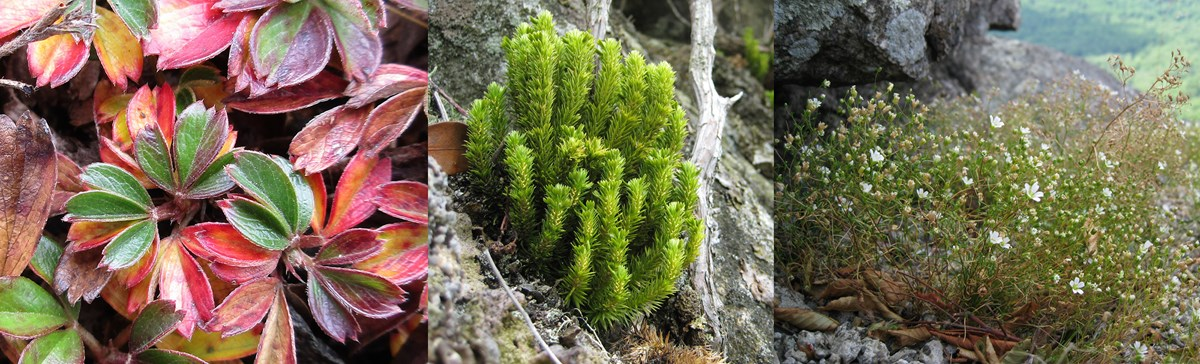 Three images of plants found on rock outcrops.