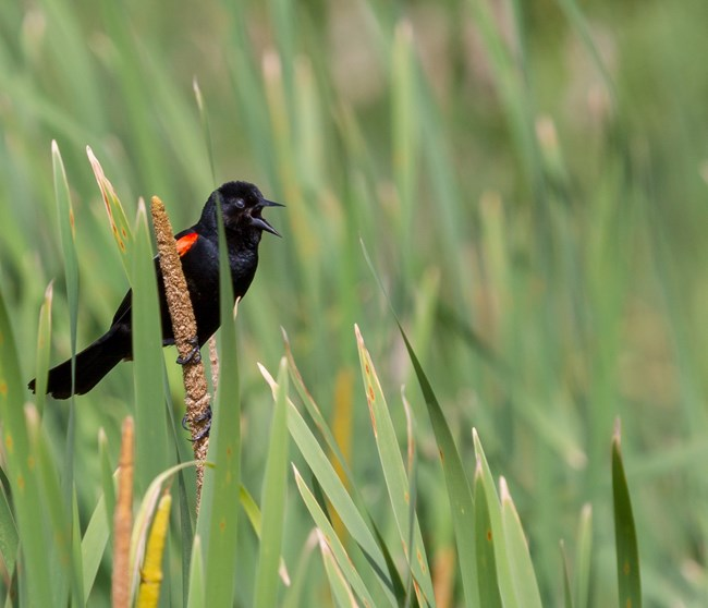 A male red-winged blackbird with bright red wings calls while perched on a cattail in a sea of green marsh grass.