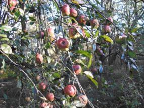 An apple tree in fruit near Loft Mountain Campground, Shenandoah National Park.  Photo by N. Fisichelli.