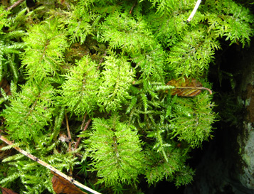Stair Step Moss