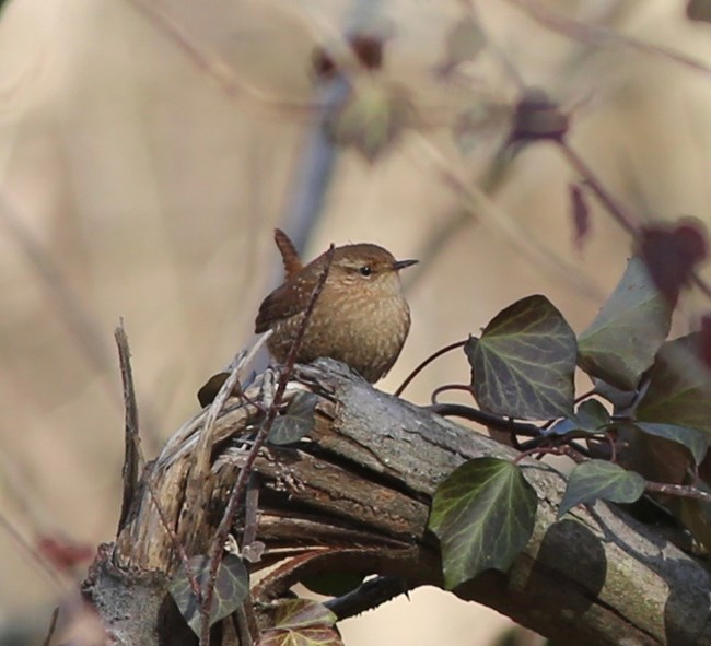 A small, very round bird sits on a broken limb amid green leaves. The bird has a light brown to cream breast and darker brown head and tail feathers.