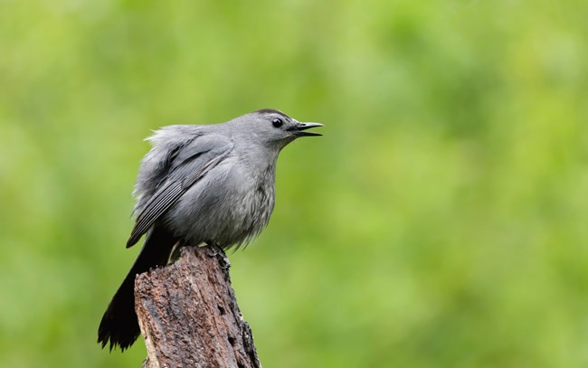 A large, gray bird perches on a stump with its beak open