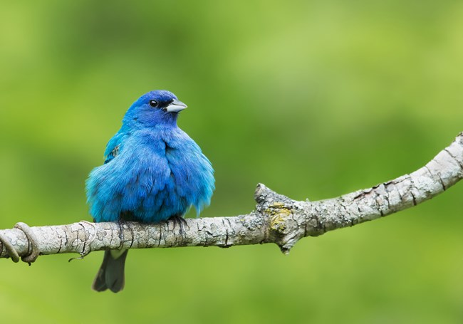 A brilliant blue adult breeding male Indigo Bunting fluffs his feathers as he perches on a tree branch.