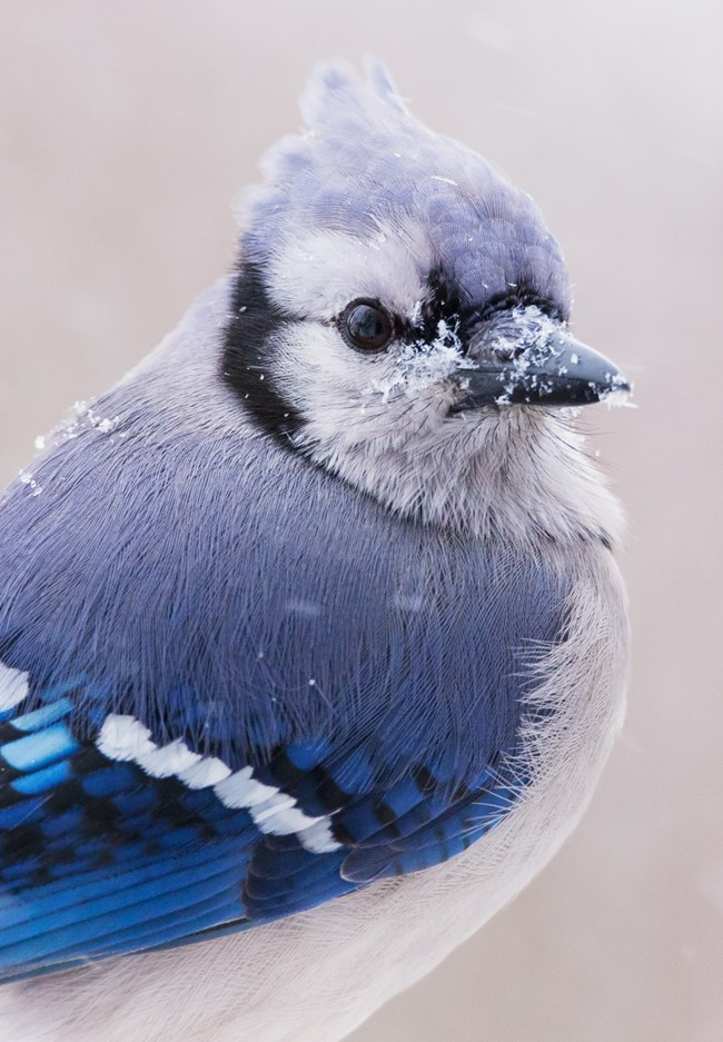 Close up of a Blue Jay with flakes of snow on its beak and back.