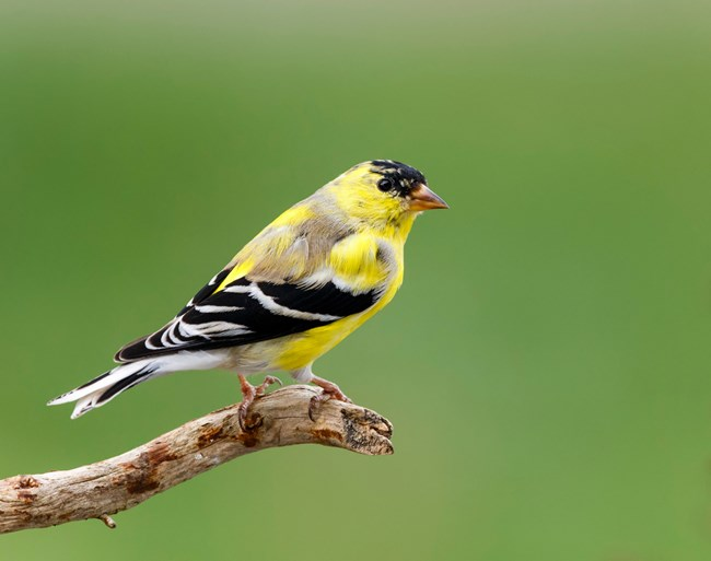 A bright yellow bird with black wings perches on a stick