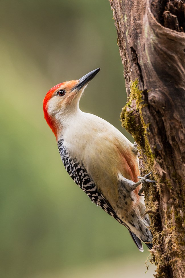 A male Red-bellied Woodpecker, with a bold red crown on its head, clings to a snag.