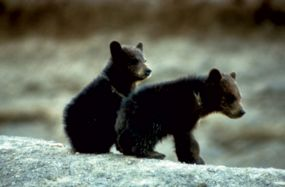 Black Bear cubs sitting on a rock.