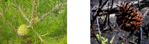 Table Mountain Pine cones before and after fire.