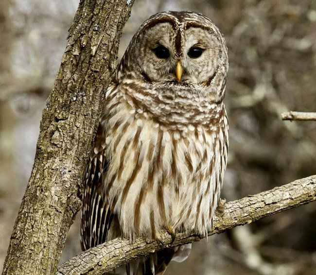 A brown, streak, barred owl is perched on a branch looking directly at the viewer.