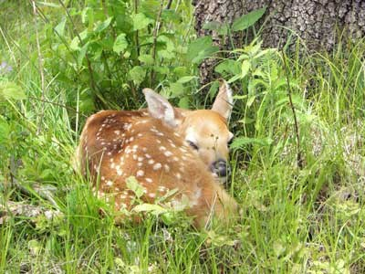 dm-fawn-curled-up