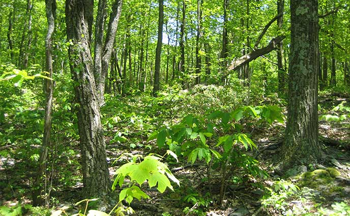 Central Appalachian Dry Chestnut Oak –Northern Red Oak/Heath Forest