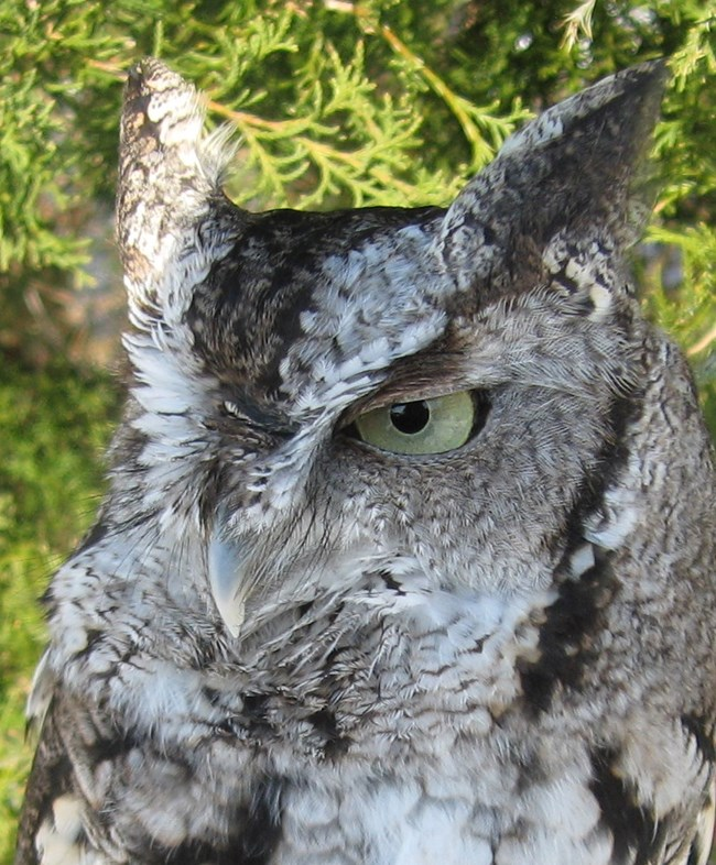 A close up of a gray eastern screech owl, looking off to the left.