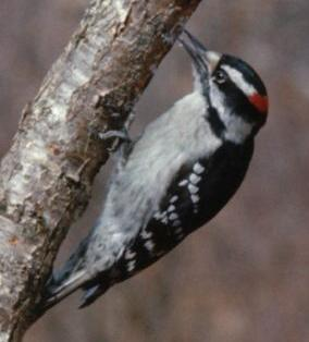 Male downy woodpecker (Picoides pubescens).  Hugh Crandall, Mar-1968