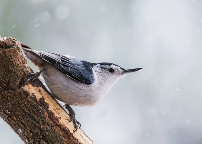 White-breasted nuthatch (dark gray head and wing, white breast, long pointed beak) sits on a tree limb in the falling snow