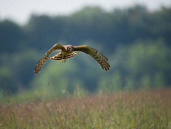 A brown and white hawk (Northern Harrier) swoops over a meadow.