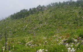 Field of blooming white flowers: turkeybeard and mountain laurel after a prescribed burn.