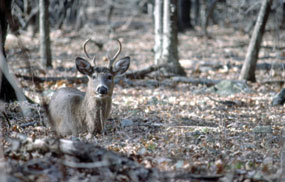 White-tailed deer are part of the magic of Shenandoah.