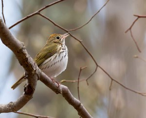 Ovenbird perched with its beak open slightly parted, facing to the right.