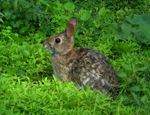 Eastern Cottontail Rabbit in a lush patch of vegetation, ears perked up.