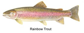 Rainbow Trout graphic