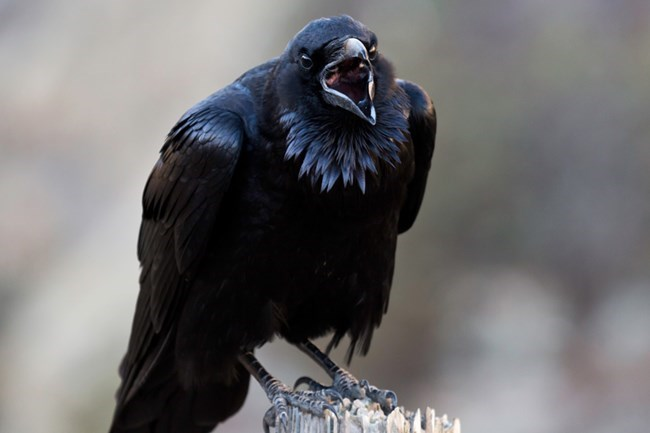 A large, black common raven screams with it's beak wide open