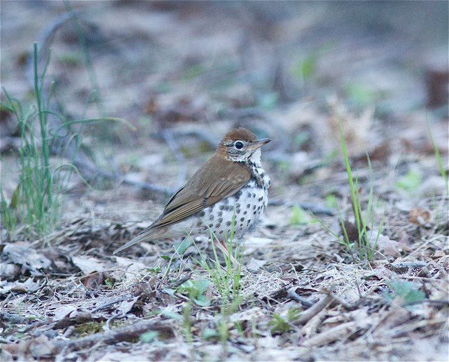 A brown bird with a white breast and dark spots on its chest stand on the leaf-littered ground