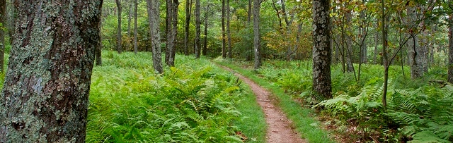 Stonyman Trail lush with vibrant ferns carpeting the forest floor.