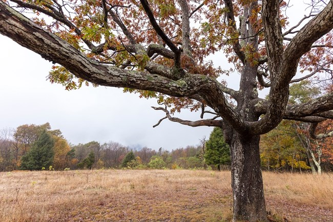 Red-leaved oak tree in small overlook field, with overcast sky