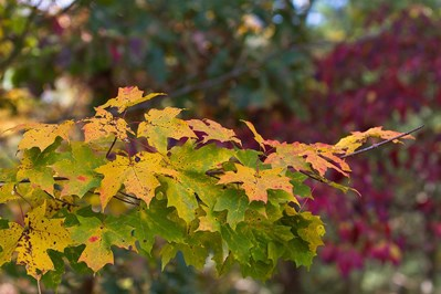 By October 18, 2013, maple leaves were changing from green to yellow and red.