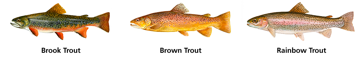Detailed color illustrations of a Brook, Brown and Rainbow Trout