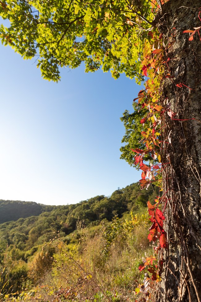 Red-orange Virginia creeper vine with overlook in background