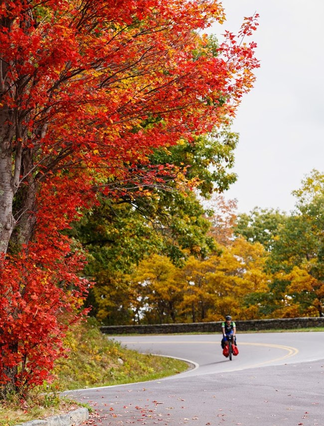 Bright red tree on left; cyclist rounds curve in Skyline Drive; more fall color in background