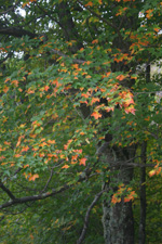 bk-fall-maple-leaves-(11)