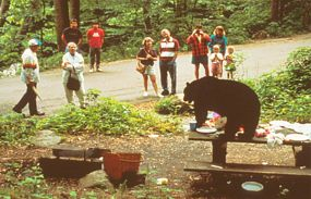 Visitors watch a Black Bear on a picnic table with food.