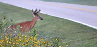 A deer approaches the edge of Skyline Drive, reminding drivers the importance of obeying the 35 mile an hour speed limit.