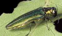 The EAB is named for its iridescent emerald color.