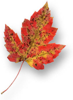 Bright orange maple leaf