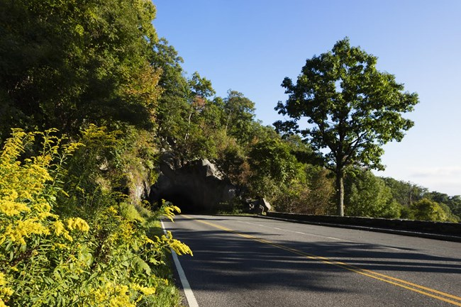 Skyline Drive roadway disappears into tunnel; bright goldenrod in left foreground.