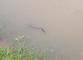 Snake in the Tennessee River