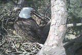 Shiloh Eagle Web Cam