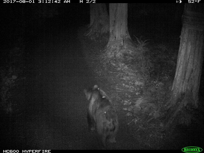 A trail camera shot of a bear walking the trails away from the camera.