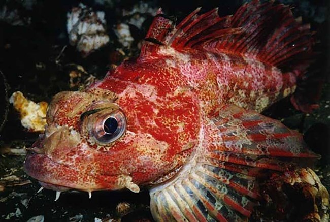 A red-colored sculpin.