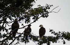 Photo of three bald eagles sitting on a tree branch.