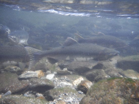 Underwater photo of numerous pink salmon swimming upstream over a rocky stream bottom.