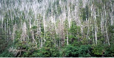 A forested hillside with numerous dead white trunks of yellow cedar interspersed with living hemlock and spruce.