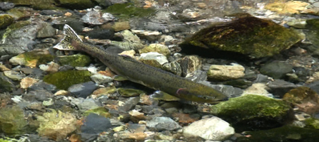 Seen from above - a single salmon swimming in a clear, rock bottom stream.