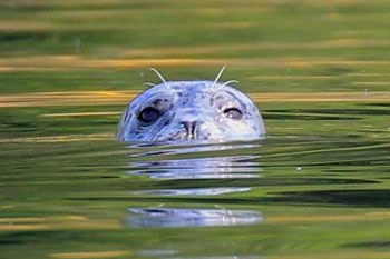 The eyes and nose of a Harbor Seal peeking out of calm, sunlight water.