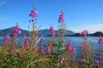 Fireweed grows on the ocean shore, with mountains and blue sky in the background.