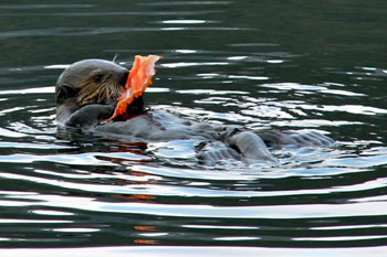 A sea otter floating on its back eating from half of a bright orange crab shell.